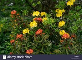 yellow colour combination rhododendron luteum euphorbia fireglow yellow orange color colour