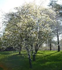 Tree With Little White Flowers - serviceberry an easy environmentally friendly tree that won u0027t