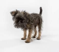 affenpinscher vs yorkshire terrier affenpinscher dogs breed information omlet