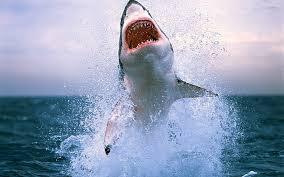 great white shark archives snowbrains