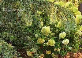 Famsa En Austin Tx by The Graceful Gardener Alluring Me Into My Garden U2026 The Spring
