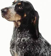 bluetick coonhound with cats bluetick coonhound dog breed