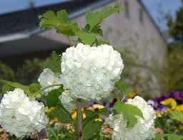 White Flowering Shrub - members of the viburnum genus