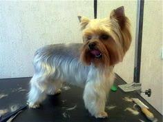 chorkie haircut styles yorkie hairstyles yorkshire terrier yorkie hairstyles and yorkshire