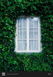 ivy framing a window stock photo offset