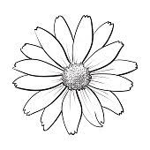 open chamomile blossom top view sketch style vector illustration
