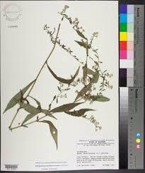 symphyotrichum lateriflorum species page apa alabama plant atlas this specimen has a photo