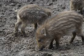 free photo pig wild boars litter free image pixabay