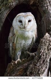 barn owl tree trunk lovely stock photo 417774028