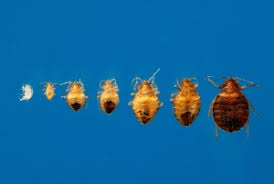 Bug Bombs For Bed Bugs Bed Bugs 101 Plunkett U0027s Pest Control