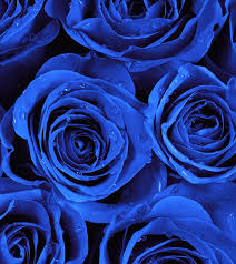 blue roses 10 most beautiful blue roses
