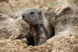 groundhog noun definition and synonyms macmillan dictionary