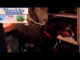 bluetick coonhound labrador retriever mix for sale mixed color rare breed retriever labrador for sale in england