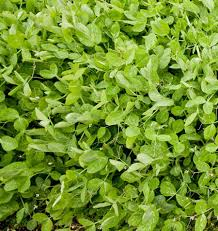 winter field peas cover crop seeds