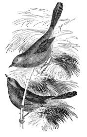 vintage clip art sweet bird engraving the graphics fairy