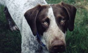 short haired dorkie mixes meet rosco the german shorthaired pointer mix on pack
