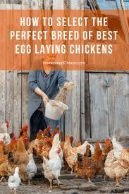 más de 25 ideas increíbles sobre laying chickens en pinterest