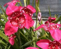 tigridia plant info how to grow tiger flowers in the garden