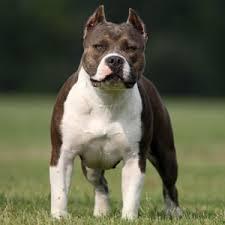 american stanford terrier y american pitbull terrier american bully pocket y xxl raza características y comportamiento