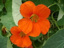 nasturtium how to plant grow and care for nasturiums the