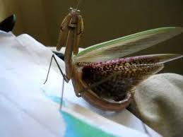praying mantis showing it s beautiful coloured wings