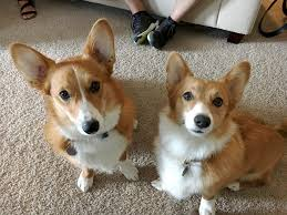 corgi how to stop a corgi from nipping people who touch his paws dog