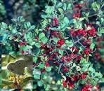 <b>Rhamnus</b> crocea ilicifolia