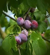 free photo plum blossom plum buds prunus domestica plum tree max