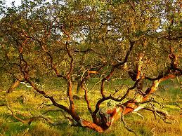 manzanita tree manzanita tree brian flickr