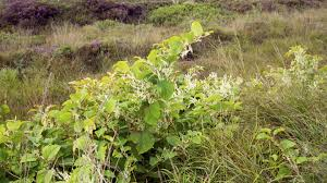 native irish plants the invasive plant species devaluing irish properties