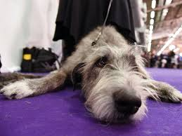 the cutest pups at the westminster kennel club show abc news