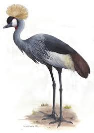 grey crowned crane u2013 emily willoughby art