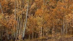 aspen tree wallpaper autumn