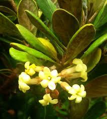 plants native to hawaii hō u0027awa pittosporum halophilum endangered species from molokai