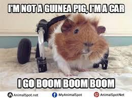 Guinea Pig Meme - images of guinea pig memes png
