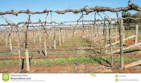 shaw swing arm trellis on grape vines stock photo image 43124999