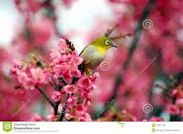 japanese white eye on a cherry blossom tree stock photo image of