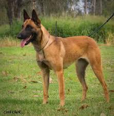 belgian shepherd rescue victoria malinworx belgian shepherd malinois breeding serious dogs for
