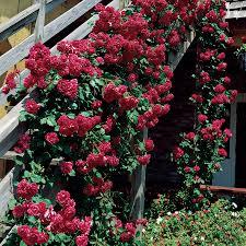 blaze improved climbing rose at jackson u0026 perkins