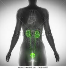 Female Urinary System Anatomy Urinary System Stock Images Royalty Free Images U0026 Vectors