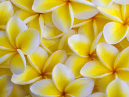 plumeria flowers san diego wholesale flowers florist bouquets yellow plumeria