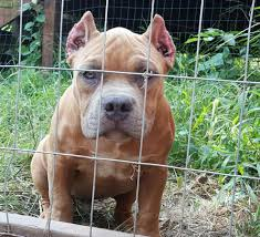 american bully dogs for sale in oklahoma danspalding