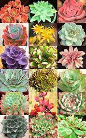 amazon succulents 45 best succulent images on pinterest succulents gardening and