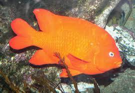 garibaldi fish wikipedia