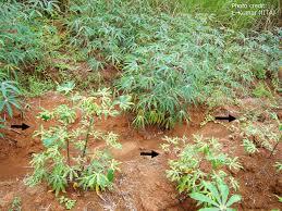 Plant Disease Journal - cassava mosaic disease a curse to food security in sub saharan africa
