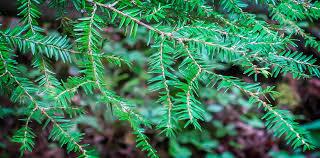 trees of the adirondacks eastern hemlock tsuga canadensis