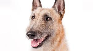 belgian shepherd history belgian laekenois dog breed information dog breeds belgian