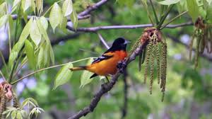 baltimore oriole foraging youtube