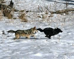 should the gray wolf keep its endangered species protection ucla