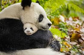 A Kitchen In Black And White Panda S House by The Fight To Save Wild Animals Disney U0027s U0027born In China U0027 Presents
